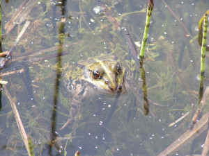 Green Frogs in the ponds on Aeroe