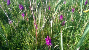 Wild flowers on the meadows on Vesteraas on Aeroe