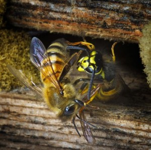Bi og Hvepsekamp