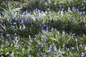 Vild Lavendel på Vesteraas