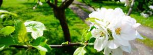 Æble i blomst på Ærø