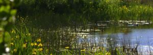 Vandhuller med klokkefrøer på Vesteraas på Ærø i Det Sydfynske Øhav