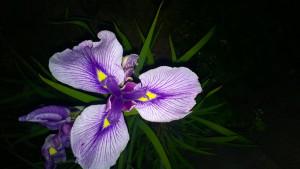 Japanische Iris aus Vesteraas